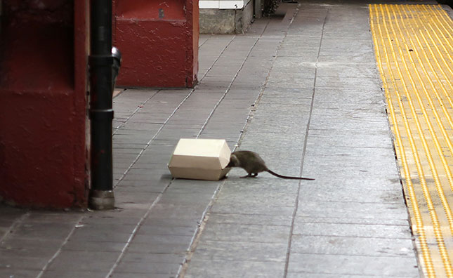 "Unmanaged trash provides ""an all-night buffet for the rats,"" says a Fordham University biologist. (GARY HERSHORN/GETTY IMAGES)"