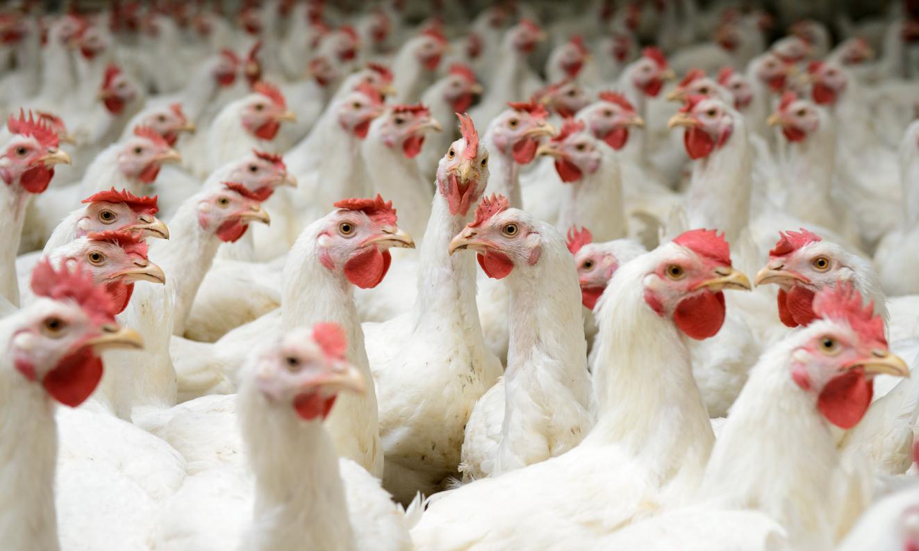chlorinated chicken - photo #13